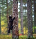 Wolverine klättrar ett träd naturlig livsmiljö royaltyfria bilder