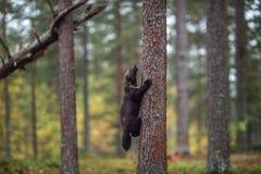 Wolverine klättrar ett träd naturlig livsmiljö royaltyfria foton