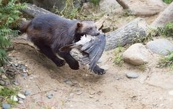 Wolverine caught the bird. Wolverine is the largest representative of the marten family. Wolverines are great at climbing trees. Wolverine is able to kill an stock photography