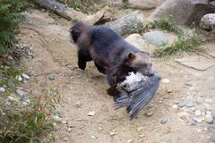 Wolverine caught the bird. Wolverine is the largest representative of the marten family. Wolverines are great at climbing trees. Wolverine is able to kill an stock photo
