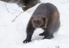 Wolverine. Wolverine is the largest representative of the marten family. Wolverines are great at climbing trees. Wolverine is able to kill an animal 5 times royalty free stock photography