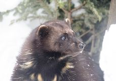 Wolverine. Wolverine is the largest representative of the marten family. Wolverines are great at climbing trees. Wolverine is able to kill an animal 5 times stock image