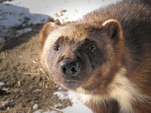 Wolverine looking at camera. Close-up of a wolverine looking at camera white out in the sun on a winter day, great details of the oily fur reflecting light and Royalty Free Stock Photos