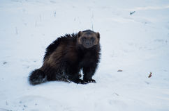 Wolverine Royalty Free Stock Photo