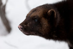 Wolverine nella neve Fotografia Stock