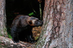 Wolverine in a north forest Stock Images