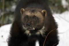 Wolverine Portrait Royalty Free Stock Photos