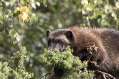 Wolverine que aplana na árvore imagem de stock royalty free