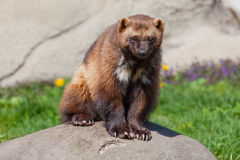 Wolverine on a Rock. A photo of a wolverine sitting on a rock stock photos