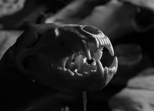 Wolverine Skull Stock Photo