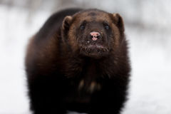 Wolverine in the snow Royalty Free Stock Photography