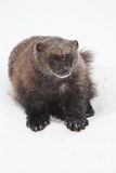 Wolverine in the snow. At Finland Royalty Free Stock Photos
