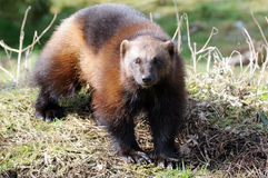 Wolverine in sunshine Stock Images