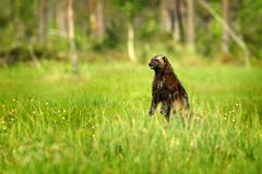 Wolverine standing in Finnish taiga. Wildlife scene from nature. Rare animal from north of Europe. Wild wolverine in summer green. Cotton grass. Animal stock photos