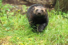 Wolverine. The strolling wolverine in the grass royalty free stock photos