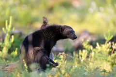 Wolverine at sunlight Stock Photography