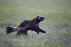Wolverine. A wild wolverine running on the mire in northern Finland stock image