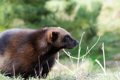 Wolverine Closeup Royalty Free Stock Image