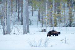 Wolverine in winter with snow. Running rare mammal in Finnish taiga. Wildlife scene from nature. Brown animal from north of Europe. Wild wolverine in snowy royalty free stock photo