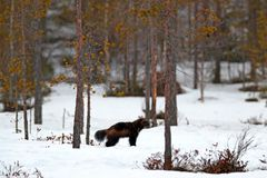 Wolverine in winter with snow. Running rare mammal in Finnish taiga. Wildlife scene from nature. Brown animal from north of Europe. Wild wolverine in snowy royalty free stock images