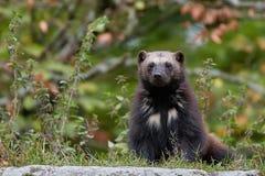 Wolverine (Gulo gulo) Royalty Free Stock Photos