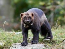 Wolverine (Gulo gulo) Stock Photography