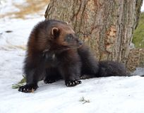 WolverineGulogulo i vinter royaltyfri foto