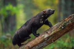 Wolverineklättring på trädet trä för song för grouseförälskelsenatur wild royaltyfria foton