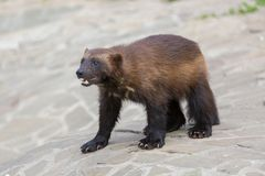 Wolverines Royalty Free Stock Photography