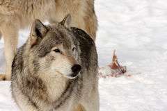 Wolves. A view of two wolves leaving carcass remains Stock Photos
