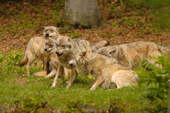 Wolves. A pack of wolves at play stock photo
