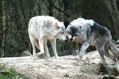 Wolves. Searching for food in the forest stock images