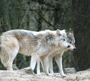 Wolves. Searching for food in the forest royalty free stock images