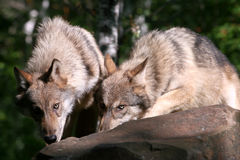Wolves. Close up of 2 wolves looking at the camera Stock Photos