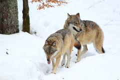 Wolves Stock Photography