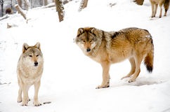 Wolves. Two wolves standing in the forest royalty free stock image
