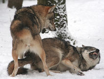 Wolves. Sex or struggle? Winter, outdoor Stock Image
