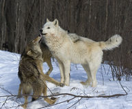 wolves Royaltyfri Foto