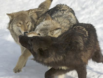 Wolves Stock Image