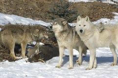 wolves Arkivfoton