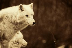 Wolves  Royalty Free Stock Photo