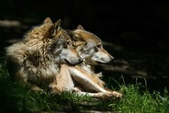 Wolves. In the evening sun's rays royalty free stock photos