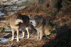 Wolves in Bavarian Forest Stock Images