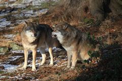 Wolves in Bavarian Forest Royalty Free Stock Image