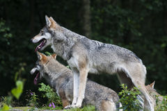 Wolves. A couple of eurasian wolves royalty free stock photography