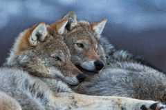 Wolves cuddling. Wolves in polar park in Troms, Norway royalty free stock photos