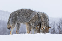 Wolves cuddling. Wolves in polar park in Troms, Norway stock photos