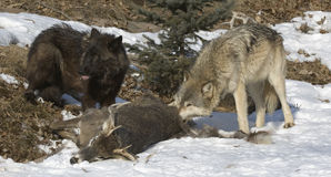 Wolves on deer kill. Two members of wolf pack on kill Royalty Free Stock Image