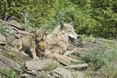 Wolves at den site. Timber wolf with her cubs, Montana Royalty Free Stock Image
