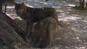 Wolves digging at the root of a tree, with the mating ritual stock footage